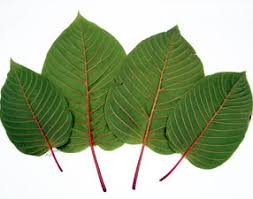 Thai kratom strains
