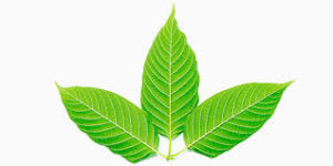 White-Veined Kratom Strains