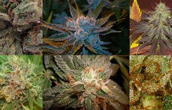 10 Best Marijuana Strains For Pain [2019 Top List]