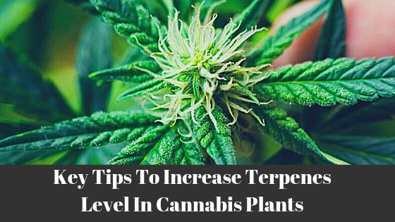 Terpenes Level Cannabis Plant