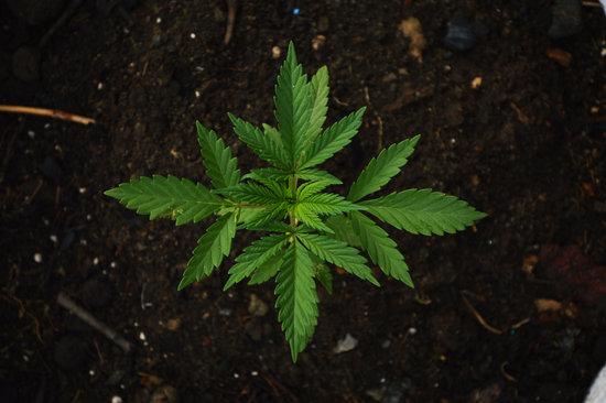 Cannabis-Leaves