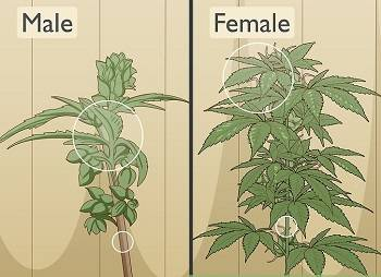 Female and Male Buds Gender