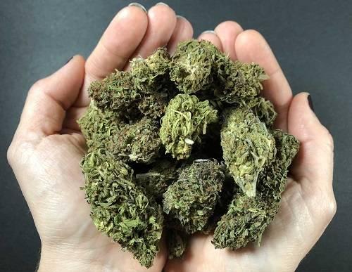 Marijuana or Weed Bud