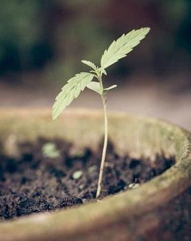 Weed Seedling Stage