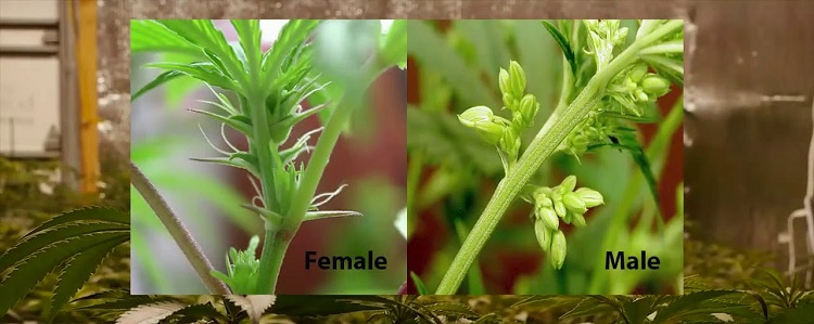 Male vs. Female Cannabis