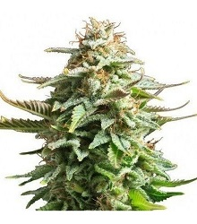 Pineapple Kush Bud