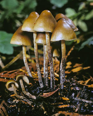 Psilocybe Pelliculosa 1
